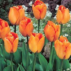 Darwin Tulip Bulbs...