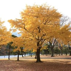Ginkgo Trees   Buy at Nature Hills Nursery