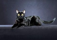 бомбейская кошка фото: 25 тыс изображений найдено в Яндекс.Картинках