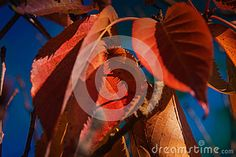 Autumn Leaves Blue Sky Bokeh - Download From Over 30 Million High Quality Stock Photos, Images, Vectors. Sign up for FREE today. Image: 50839370