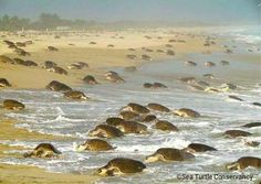 Pinned by Kim: This is a picture of Sea Turtles in Oaxaca. The sea turtle populating has gotten very high recently, and is a very big tourist population. The most popular turtle type in Oaxaca in Leatherbacks. Vero Beach Resort, Vero Beach Florida, Florida Vacation, Florida Travel, Sea Turtle Nest, Sea Turtles, Turtle Beach, Reptiles, Vero Beach Disney