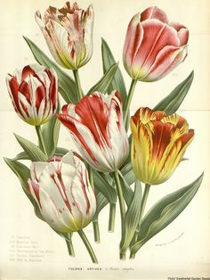 The Dutch Tulip Mania Known As Tulpenwoede
