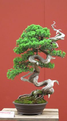 Juniper bonsai with wonderfully trained & carved trunk.