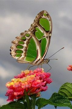 Green Butterfly ~ I have flowers like this and the butterflies love them, I've never seen a green one - not yet!