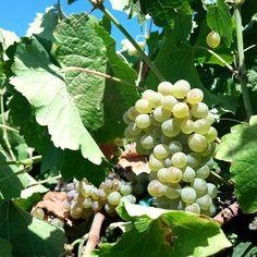 Verdelho Grapes #wine