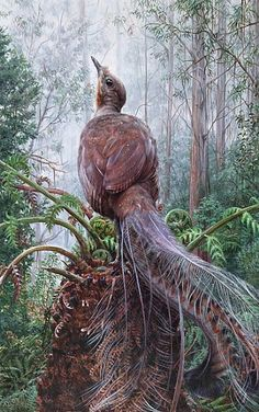 http://www.natureartists.com/art/resized/1620_Superb_View_Superb_Lyrebird2.jpg