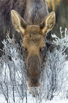 Bull moose in hoar frost. The moose (Alces alces) is the largest species in the deer family. Males are distinguished by broad flat antlers, which they lose during the winter. (by Chris Greenwood Nature Animals, Animals And Pets, Cute Animals, Funny Animals, Strange Animals, Moose Pictures, Animal Pictures, Beautiful Creatures, Animals Beautiful