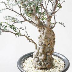 . . スレンダーだった手乗りパキプスが . ドーピングのおかげで少しコブコブデブプスになってきた . 遠慮せずにデブって下さい って言われる世界で暮らしたいw . From @aneaken  #オペルクリカリア#パキプス#Operculicarya#pachypus #cactus#caudex#succulent#plants#interior#コーデックス#多肉植物#塊根