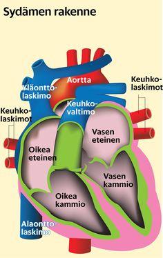 sydämen rakenne ja toiminta - Google-haku Vase, Google, Vases, Jars