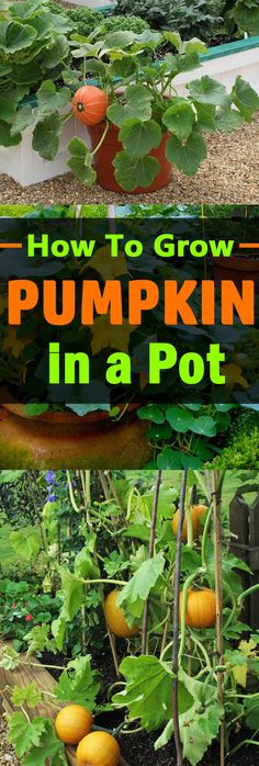 Growing Pumpkins In Containers   How To Grow Pumpkins In Pots   Balcony Garden Web Garden Web, Garden Oasis, Balcony Garden, How To Grow Pumpkins, Pumpkin Growing, Homestead Gardens, Large Containers, Fall Harvest, Growing Plants