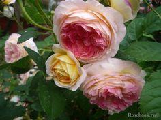 Rosomane Janon French Rose