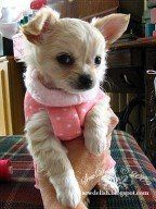 These puppy sweaters are so easy to make.  I've made several in different colors for my little chihuahua.