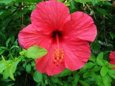 Hibiscus on Kukuau street. Hilo Hawaii.