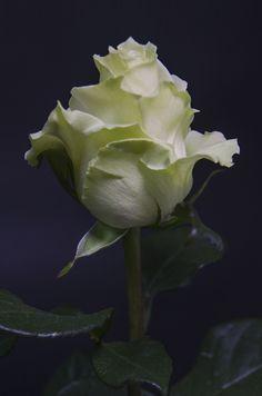 MONDIAL - Eden Roses Ecuador #Flowers #Roses #Ecuador #PrimeroEcuador #Ecuador #Rose #MitadDelMundo #ThePleasureOfBeauty #edenrosesec #EdenRosesEcuador
