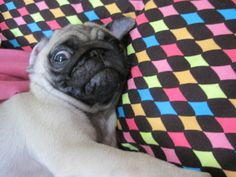 Napping pug says: WHY YOU WAKE ME?