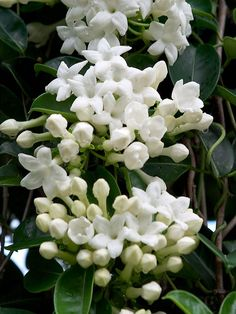 Vintage Gathering Wedding Flowers: Stephanotis- delicate and beautiful with a strong perfume, perfect for weddings!