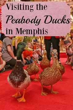 The Peabody Ducks in Memphis live a red carpet lifestyle, coming down to greet tourists every day from their penthouse at the Peabody Hotel. Here's how and when to see these special mallards.