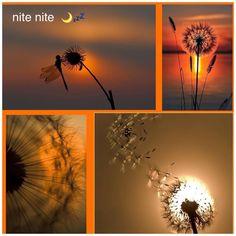 Dandelion nites  ✨