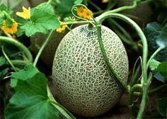 Как ускорить начало плодоношения дынь?