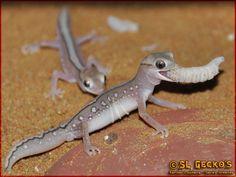 Diplodactylus pulcher