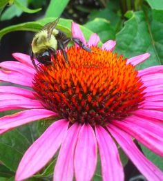 Echinacea and Bumble