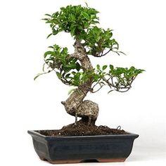 Ficus bonsai  Specific Bonsai care guidelines for the Ficus Bonsai