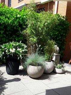 Bamboe en grassen in potten in mijn tuin