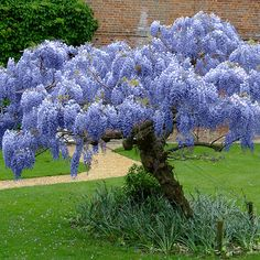 The ORIGINAL Blue Chinese Wisteria Tree is Nature Hill's best-selling #plant.  In spring and early summer they explode in long streams of sweet-smelling #flowers that can range from sky #blue to rich #lavender. By autumn the flowers have transformed into 6 inch long velvet seed pods that add truly unique texture to your fall and winter landscape. These small trees are fast growing, disease resistant, and highly drought tolerant…