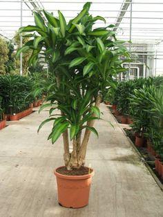 Dracaena Massangeana (Drachenbaum) kaufen? - 123zimmerpflanzen