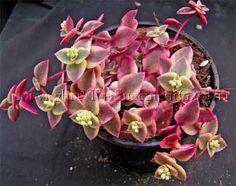"Crassula marginalis rubra 'Variegata' aka Crassula Calico Kitten (Home Depot, 2"" pot)"