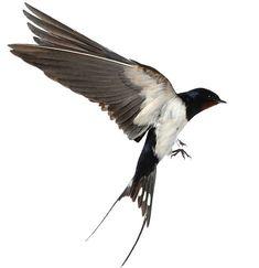 View Stock Photo of Swallow. Find premium, high-resolution photos at Getty Images. Conquest Of Mythodea, Vogel Illustration, Swallow Bird Tattoos, Sparrow Tattoo, Desenho Tattoo, Bird Drawings, Wild Birds, Bird Art, Beautiful Birds