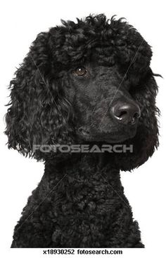 Standard poodle Images and Stock Photos. 260 standard poodle photography and royalty free pictures available to download from over 100 stock photo companies.