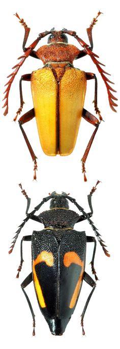 Calocomus desmarestii in two different habitus