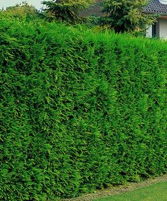 Leyland Cypress Leyland Cypress is an extremely fast-growing conifer that soon develops into a dense hedge. It is completely hardy and has absolutely no demands as to soil type. Resistant to onshore winds. It doesn't mind regular and intensive trimming. For a beautiful hedge plant 3 trees per metre. Height supplied 30-40 cm.