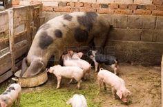 Varkens-gezin-op-de-boerderij.
