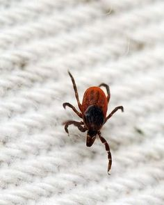 Study cites Powassan link to long-term Lyme symptoms - News - capecodtimes.com - Hyannis, MA