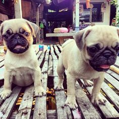Pug puppies are happy to meet you!