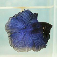 808 Blue metallic DT male