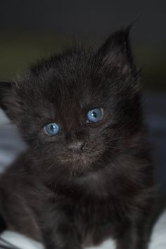 Chatterie de Savukovski  Femelle Black Solide née le 20 juin 2020 #MaineCoonDeSavukovski Chat Maine Coon, Cats And Kittens, Animals, Cattery, Animales, Animaux, Animal, Animais, Cats