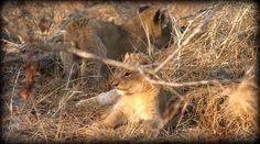 9-17=4-17 3 new Nkuhuma cubs found by Tristan and Seb Safari Live