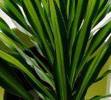 http://ift.tt/1jhVFGr Riki Madagascar Dragon Tree  Dracaena  6 Pot  Easy to Grow House Plant Reviews
