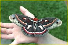 late June 2012 Horn Worms: pretty, not nice. | Garden Warrior