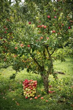 Old apple trees provide the family with plenty of apples and apple juice. Apple Garden, Vegetable Garden, Baumgarten, Apple Orchard, Garden Trees, Growing Herbs, Apple Tree, Edible Garden, Fruit Trees
