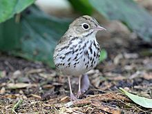 Ovenbird's have olive-brown upperparts and white underparts heavily streaked with black. A white ring surrounds the eyes, and a black stripe runs below the cheek. They have a line of orange feathers with olive-green tips running along the top of their head, bordered on each side with blackish-brown. The orange feathers can be erected to form a small crest. The eyes and the upper part of the thin pointed beak are dark, while the lower beak is horn-colored and the legs and feet are pinkish.