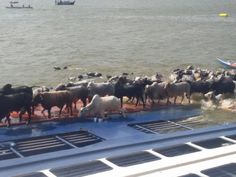 Livestock carrier Haidar capsized in port, 5000 animals killed| SeaNews