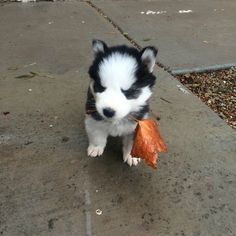 And if none of that helps, then this puppy is prepared because he picked this leaf especially for you. | 31 Adorable Pictures For Anyone Who Is Really Stressed