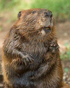 N. American Beaver