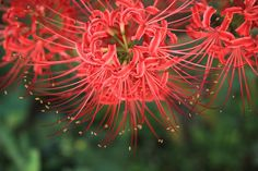 ~~ red spider lily / Lycoris radiata ~~