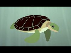 The Survival of the Sea Turtle - Use to show Text Structure Sequence/Process (or even cause/effect)