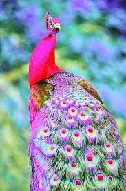 Image result for pink peacock bird